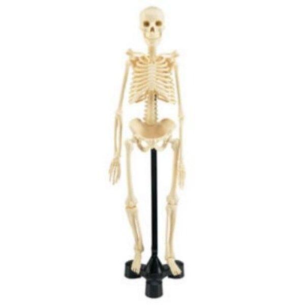 Skeleton 1:4