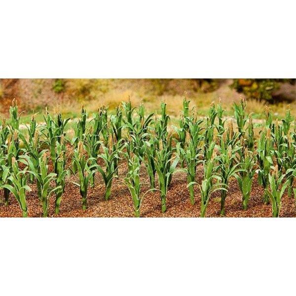 36 Maize plants